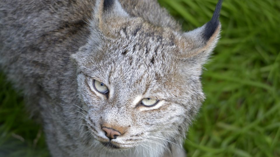 Canadian lynxes feeding schedule