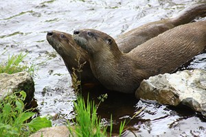 River otters feeding schedule