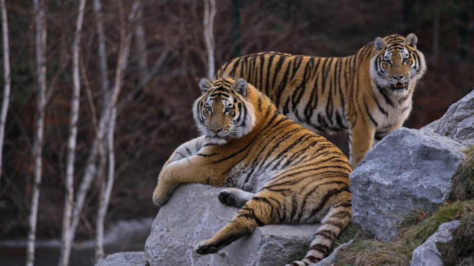 Amur tigers  feeding schedule