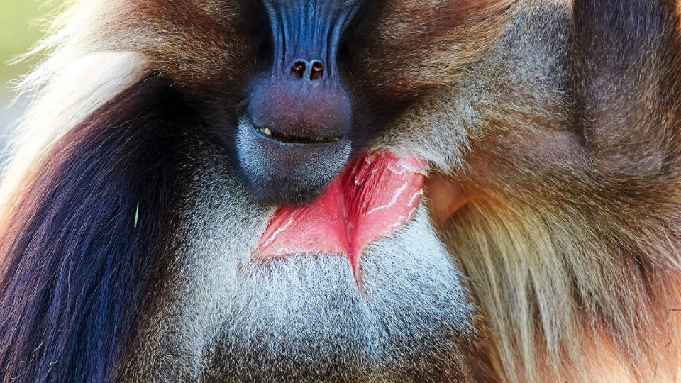 Hosted gelada baboons encounters