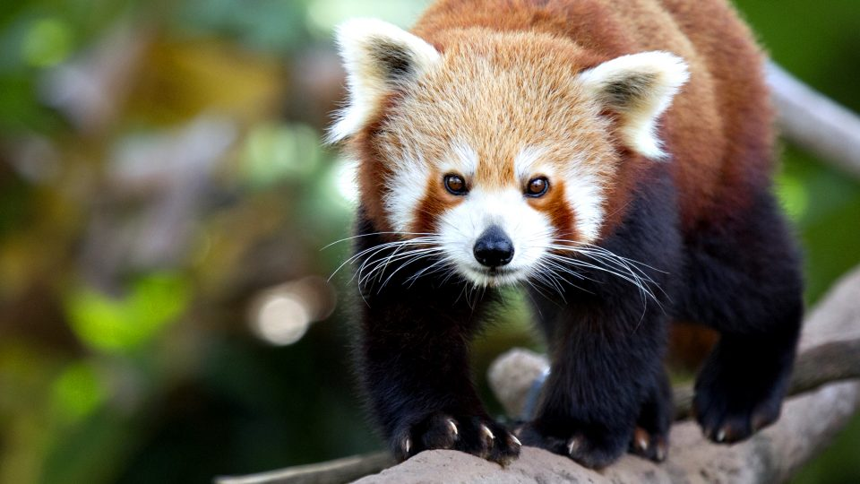 Hosted animal encounters red pandas